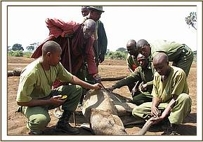 trying to rescue an orphaned calf