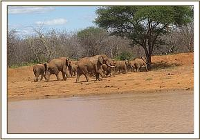 elephants at lesilau dam