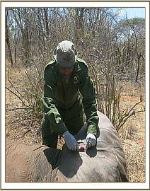 Treatment of an eles with a poisoned arrow