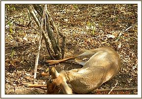 A snared dikdik carcass at Kalovoto