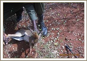 Team member rescuing a dikdik from a snare