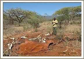 An elephant carcass at Ngutuni Ranch