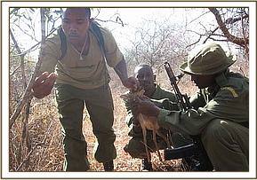 Removing the dead Dikdik from the snare