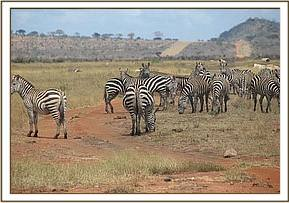 A herd of zebras grazing near a water hole