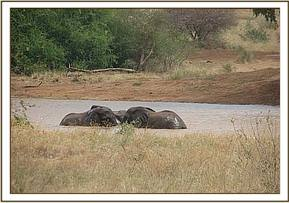 Elephants wallowing in a water hole
