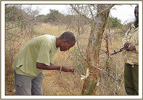 A member of the team removing a snare from a tree