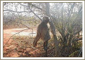 The snared baboon