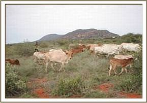 Illegal grazing in the park in Ngutuni