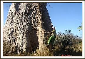 Honey harvesting from baobab trees