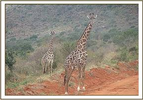 Giraffe seen during trip