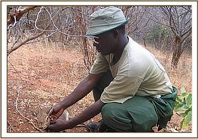 A Dikdik being rescued from a snare
