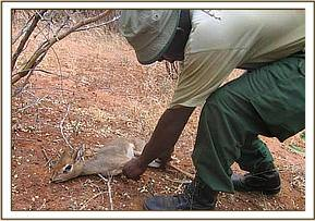 The second snared Dikdik that was rescued