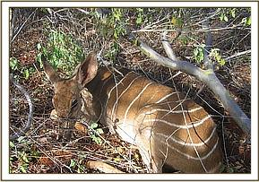 The snared Lesser Kudu