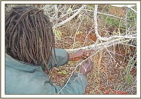 Arrested poacher made to lift his snares