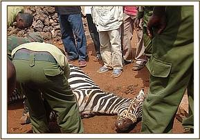 rescue of Zebra from a terrible attack