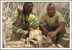 another dikdik rescue