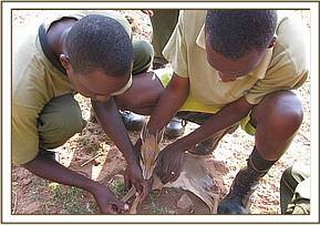 rescue of snared Dikdik