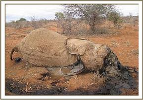 poached elephant seen during school trip