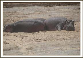 Hippo's sitting in low water due to the drought