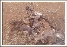 A dead elephant calf at taita wildlife santuary