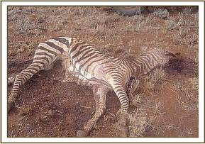 A dead snared zebra at taita wildlife santuary