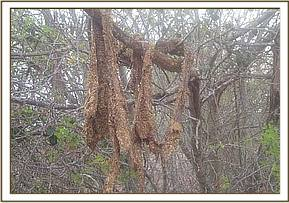 Remains of a snared giraffe at taita santuary