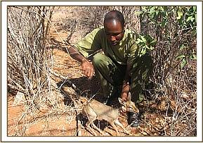 rescuing snared dikdiks at Mbulia ranch