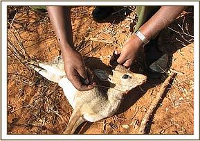 snared dikdik at Mbulia ranch