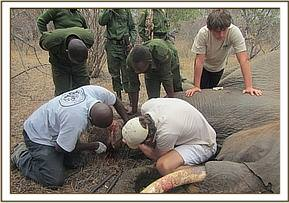 The team & vet unit treating a snared elephant