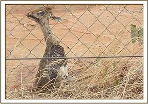 A dikdik trapped in the fenceline