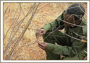 Desnarer lifting a small snare at Mathae area