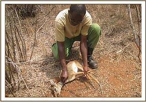 Rescue of a dikdik from a snare
