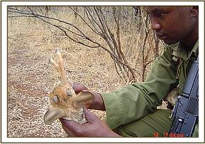 Removing a snare from a dead Dikdik