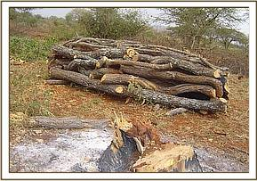A pile of cut wood to be burnt for charcoal