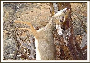 A Dikdik dead after getting caught in a snare