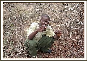 A desnaring team member removing a snare