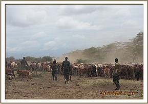 Evicting cows in Ziwani
