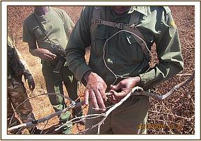 Collecting snares in Kanga area