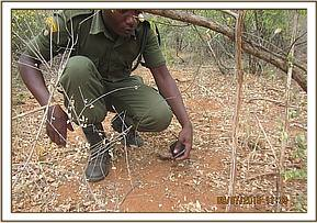 Team members lifting snares in Kanga area