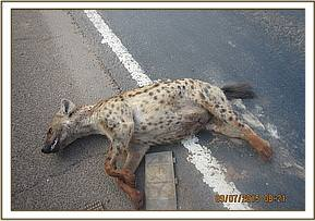 A hyena carcass found along Nairobi-Mombasa road