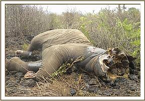 Elephant carcass at Olteseka killed by gun wound