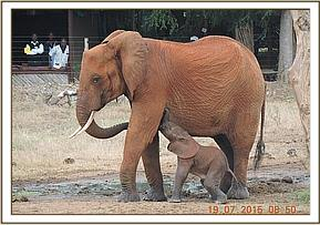 Rescued baby elephant reunited with mother