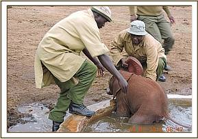 A Baby elephant rescued from water hole