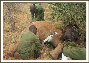 Treatment in progress led by Voi Veterinery