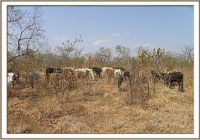 Cows grazing in the park at the Mangelete area