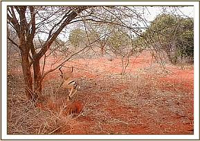 The rescued Impala runs free