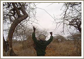 Snare set in a tree to trap a giraffe