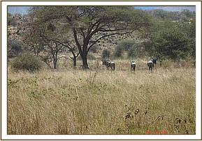 Some Wildebeest