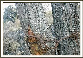 Large snare attached to a tree