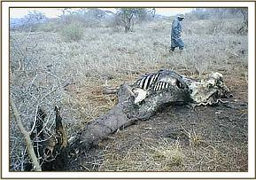 Remains of a snared giraffe at lualenyi